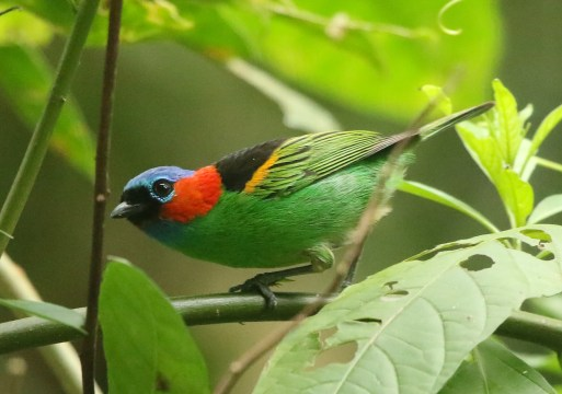 Red-necked Tanager (A Foster)