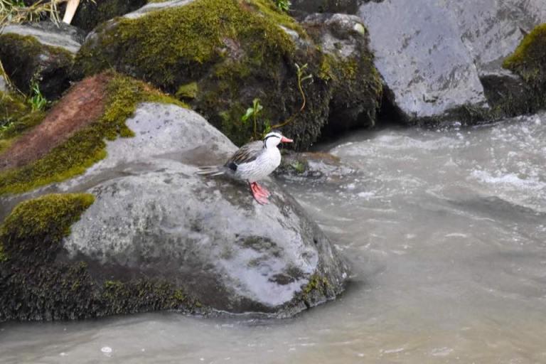 Torrent Duck.jpg