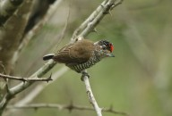 White-barred Piculet (A Foster)