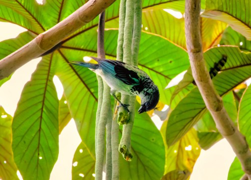 Azure-rumped Tanager