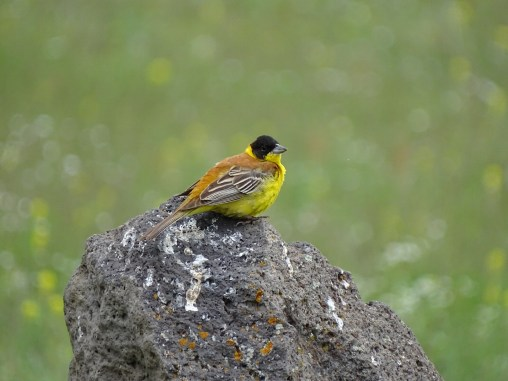 Armenia Birding