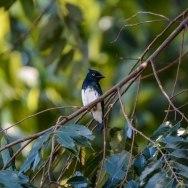 Black-and-white Shrike-flycatcher 02