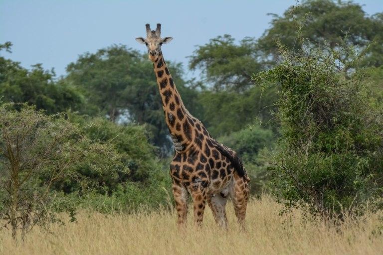 Giraffe. Roshchilds. Murchison._.jpg