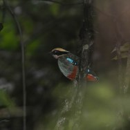 Green-breasted Pitta. Kibale