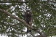 Western Banded Sanke-eagle. Murchison._