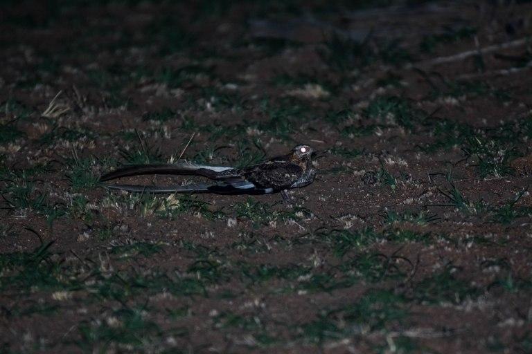 Pennant-winged Nightjar 3