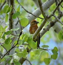 RED CROSSBILL--MALE
