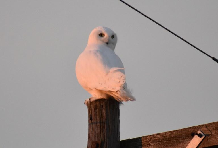 SNOWY OWL2