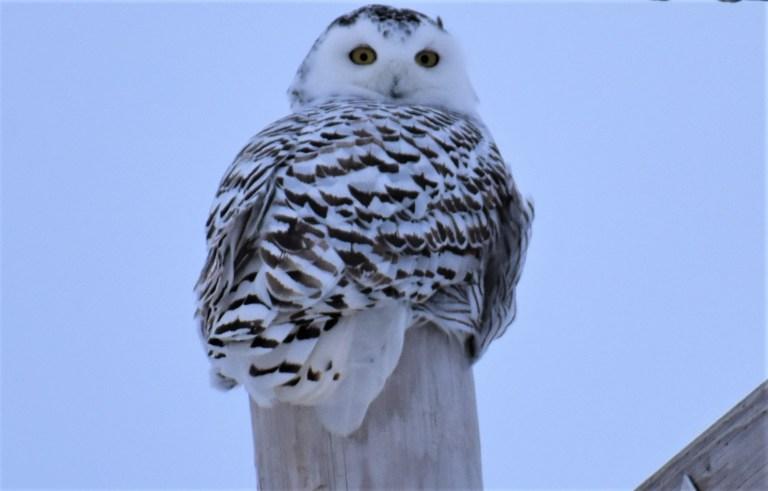 SNOWY OWL3