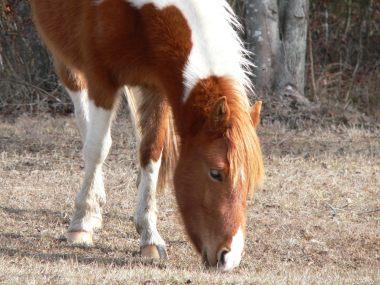 ASSATEAGUE HORSE2