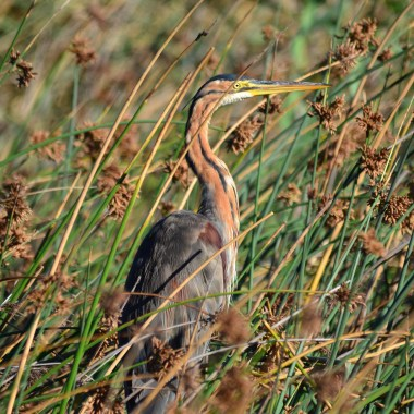 Purple Heron on tour with Nature Travel Birding in Netherlands