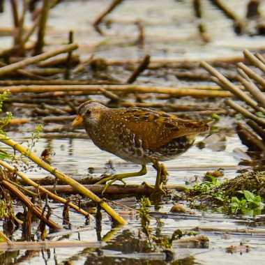 Spotted Crake on tour with Nature Travel Birding in Netherlands