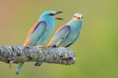 Birding in Europe with Nature Travel Birding