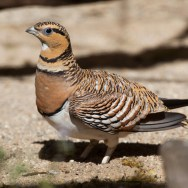 Pin-tailed Sandgrouse with Nature Travel Birding in Africa