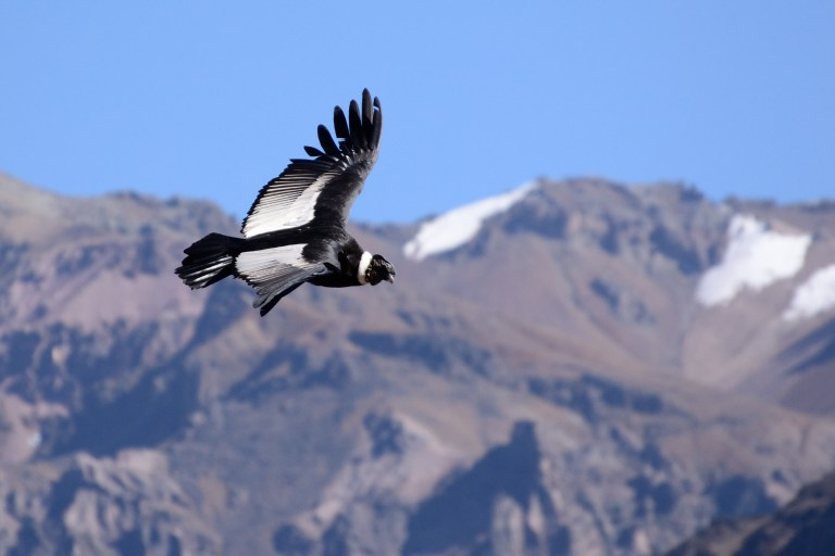 See the Andean Condor with Nature Travel Birding