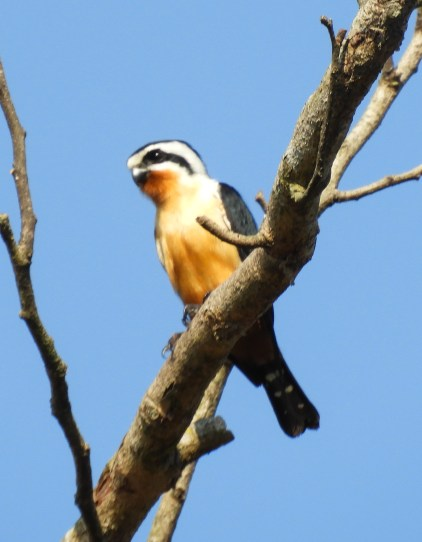 Collared Falconet.jpg