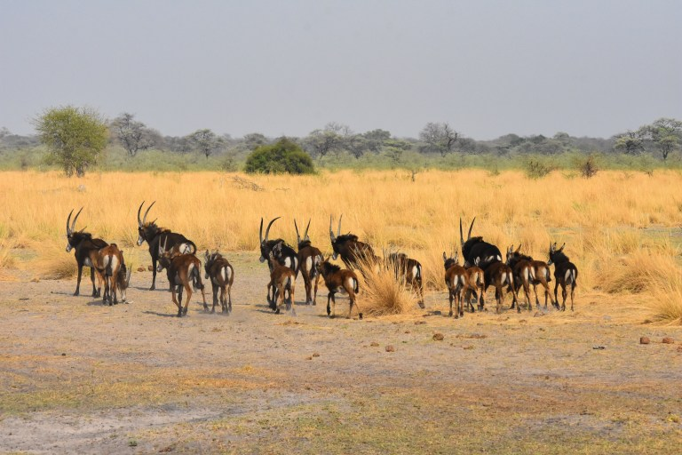 Sable Antelope herd