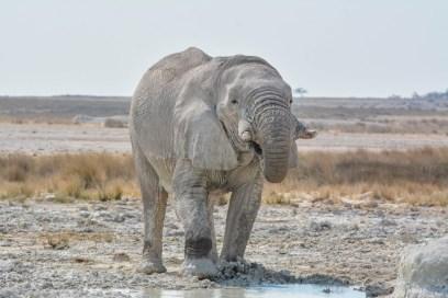 African Elephant bull in Etosha NP