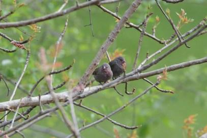 Brown Firefinches along the Okavango