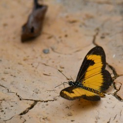 Butterflies of Ghana (4) - Copy