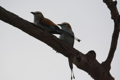Racket-tailed Rollers in the Miombo woodland