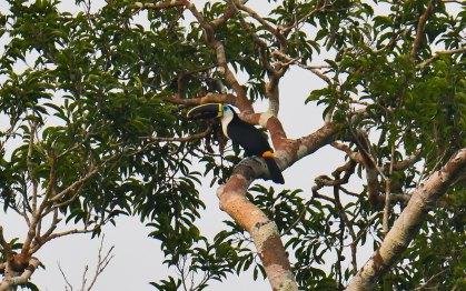 Birding in Peru