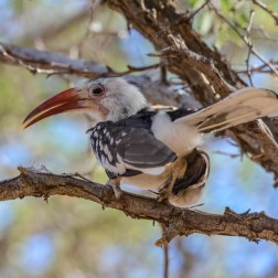 Damara-Red-billed-Hornbill