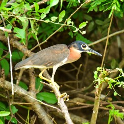White-backed-Night-Heron