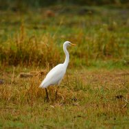 Intermediate-Egret