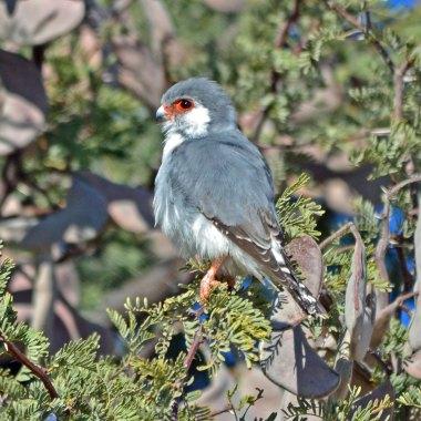 Pygmy-Falcon-in-Tarangire