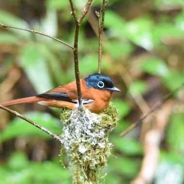 Malagasy-Paradise-Flycatcher