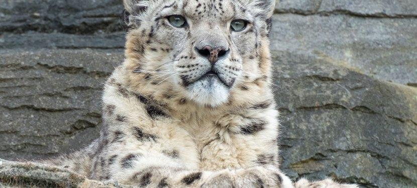 Mongolia Snow Leopard & Birding