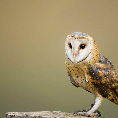 American-Barn-Owl