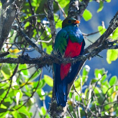 Golden-headed-Quetzal