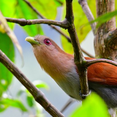 Squirrel-Cuckoo