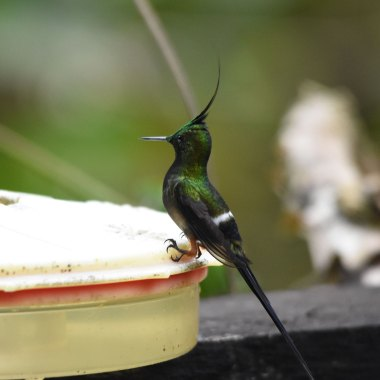 Wire-crested-Thorntail