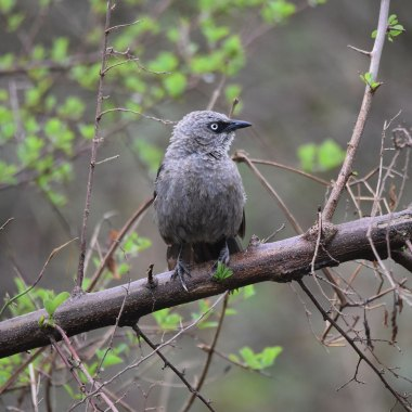 Black-lored-Babbler-in-Queen-Elizabeth