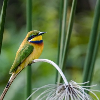 Blue-breasted-Bee-eater-at-Mabamba-Swamp