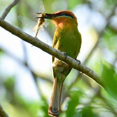 Bohm's-Bee-eater-in-Liwonde