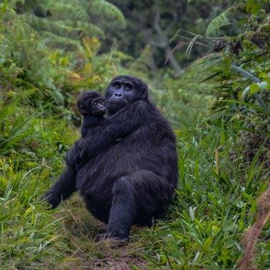 Eastern-(Mountain)-Gorilla-in-Bwindi-(2)