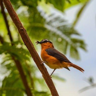 Grey-winged-Robin-chat-in-Bwindi