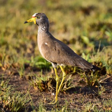 African-Wattled-Lapwing-in-Rietvlei-NR