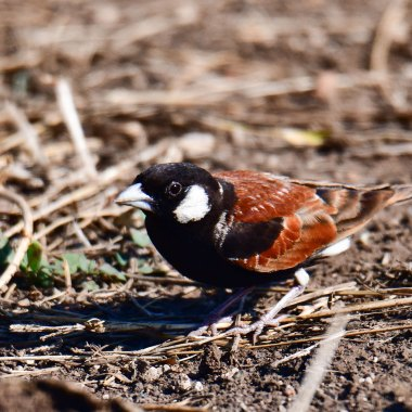 Chestnut-backed-Sparrowlark-in-Kruger-NP