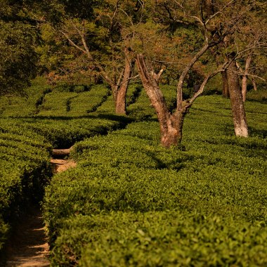 Fields-of-chai