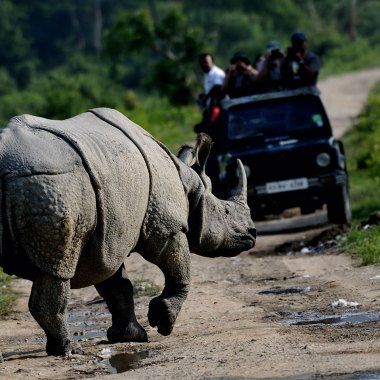 Great-Indian-One-horned-Rhinoceros-on-safari-in-Kaziranga