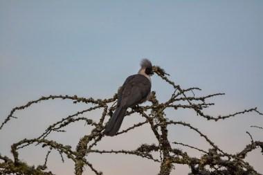 Bare-faced-Go-away-bird.-Lake-Mburo