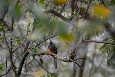 Bat-tailed-Trogon.-Bwindi.-Ruhija-Sector