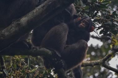 Chimpanzees.-Kibale