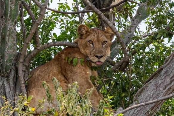 Lion.-Queen