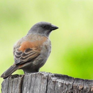 Northern-Grey-headed-Sparrow